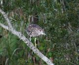 Black Crowned Night Heron juvenile