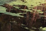 Duckweed-6