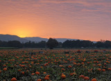 Pumpkin-Harvest-1(unaltered colors)