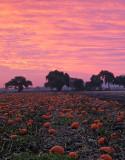 Pumpkin-Harvest-9 (unaltered colors)