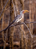 Yellow Hornbill 1