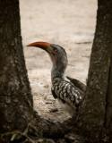 Yellow Hornbill, Kruger NP