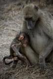 Baboon 5, Kruger NP
