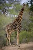 Giraffe 5, Kruger NP