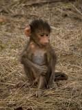 Baboon 10, Kruger NP