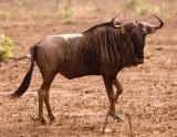 Krueger Wildebeest