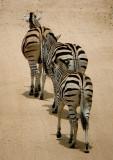 Kruger, Zebra 5