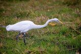 Chobe NP, Great White Egret