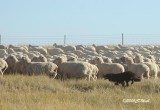 Mick in ND working 2K sheep