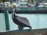 THIS BROWN PELICAN SEEMED TO OWN THE DOCK AT CLEARWATER