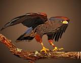 birds_of_prey