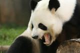 Yang Yang (Dad Panda)