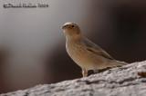 Sinai Rosefinch (Carpodacus synoicus)