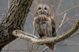 Tawny Owl (Allocco)