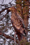 White-tailed Eagle (Haliaaetus albicilla)