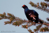 Black Grouse (Tatrao tetrix)