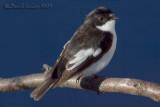 Pied Flycatcher (Ficedula hypoleuca)