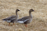 Bean Goose (Oca granaiola)