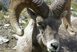 Mountain Sheep Ram: Banff