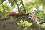 Red Pandas @ Marwell zoo