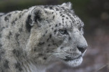 Snow Leopard at Marwell Zoo, Hampshire