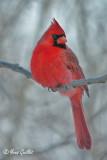 Cardinal mâle #0835.jpg