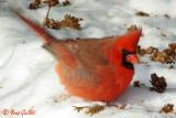 Cardinal mâle #0266.jpg