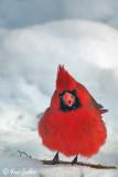 Cardinal mâle #9967.jpg