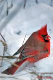 Cardinal mâle #9947.jpg