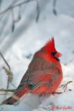 Cardinal mâle #9965.jpg