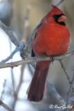 Cardinal #3722.jpg