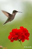 Colibri femelle #7998.jpg