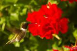Colibri mâle #7640.jpg