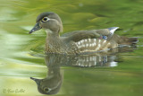 Canard branchu femelle #7248.jpg
