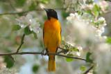 Oriole de Baltimore mâle + fleurs pommiers #8075.jpg