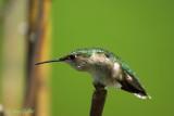 colibri femelle #8673.jpg