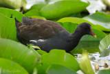 Gallinule poule d'eau #3476.jpg