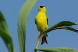 Chardonneret jaune mâle #3930.jpg