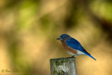 Merle bleu de l'Est - Eastern bluebird - 4 photos
