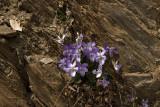 Viola rupestris