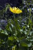 Doronicum grandiflorum Lam