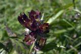 Gentiana purpurea / Genziana porporina