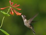 Ruby-Throated Male Juvenile Hummingbird