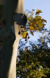 Morning Leaf Lone Pine, California  October 2006
