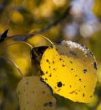 Cold Leaf Buttermilk Hills Bishop, California  October 2006