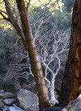 Ghost Tree Kern River Canyon, California, February 2007