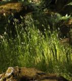 Grass Light Sonoma County California, June, 200