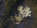 Reminders of Fall Sonoma County California, June, 200