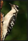 Hairy woodpecker (juvenile male)
