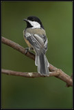 Black-capped chickadee ©  Liz Stanley
